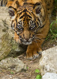 Sumatran Tiger Cub. Flamingo Land Zoo Royalty Free Stock Photos