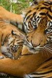 Sumatran Tiger Cub Stock Photo