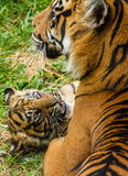 Sumatran Tiger Cub. Flamingo Land Zoo Royalty Free Stock Photo