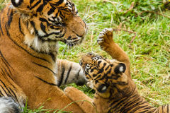 Sumatran Tiger Cub. Flamingo Land Zoo Royalty Free Stock Photography