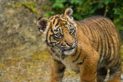 Sumatran Tiger Cub. Flamingo Land Zoo Stock Photography