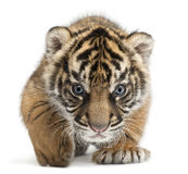 Sumatran Tiger Cub, Panthera Tigris Sumatrae Royalty Free Stock Photography