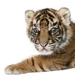Sumatran Tiger cub, Panthera tigris sumatrae, 3 weeks old, in fr royalty free stock photography