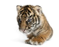Sumatran Tiger cub, Panthera tigris sumatrae, 3 weeks old, in fr stock photography