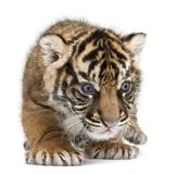 Sumatran Tiger cub, Panthera tigris sumatrae, 3 weeks old stock photos