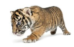 Sumatran Tiger cub, Panthera tigris sumatrae, 3 weeks old, walking in front of white background stock images
