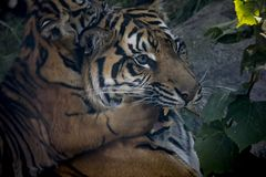 Sumatran tiger cub playing with mother. Photo was take in the zoo stock image