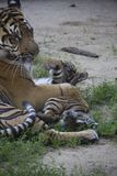 Sumatran tiger cub playing with mother. Photo was take in the zoo stock photo
