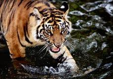 Sumatran tiger cub Stock Photos