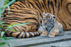 Sumatran Tiger Cub Stock Photos