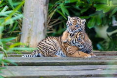 Sumatran Tiger Cubs Stock Photo