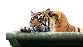 Sumatran Tiger, der auf der hölzernen Plattform getrennt liegt lizenzfreie stockbilder