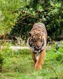 Sumatran Tiger, der die Lippen gestaltet von Greenery leckt lizenzfreies stockbild
