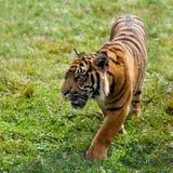 Sumatran Tiger, der durch Gras Nachrichtenmengendosierung ist lizenzfreies stockfoto