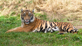 Sumatran Tiger, der im Gras liegt stockbild