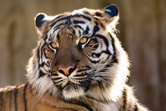 Sumatran-Tiger, der Pantheratigris-sumatrae stockfotos