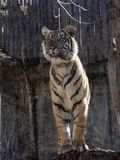 Sumatran-Tiger, der Pantheratigris-sumatrae, passt nah die Umgebungen auf lizenzfreies stockfoto