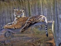 Sumatran-Tiger, der Pantheratigris-sumatrae, passt nah die Umgebungen auf lizenzfreie stockfotografie