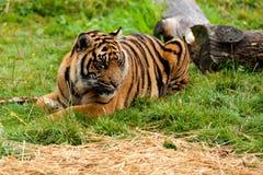 Sumatran Tiger, der sich hinlegt lizenzfreies stockfoto