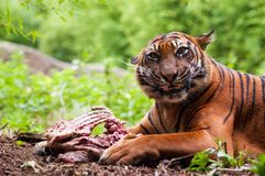 Sumatran tiger eating its prey. On the forest floor Royalty Free Stock Images