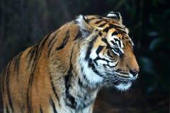 Sumatran tiger face looking away royalty free stock photography