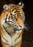 Sumatran Tiger. Flamingo Land Zoo Royalty Free Stock Images