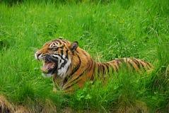 Sumatran Tiger Growl Immagine Stock