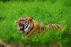 Sumatran Tiger Growl Stock Image