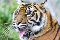 Sumatran Tiger head in half profile looking forward with mouth open. NThis tiger subspecies is found only on the Indonesian island of Sumatra Stock Photo