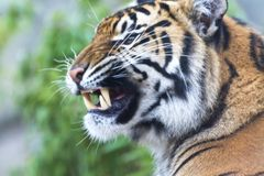 Sumatran Tiger head in profile looking left with open snarling mouth. This large cat is a most beautiful but deadly predator.  It`s large canine teeth can be Royalty Free Stock Photos