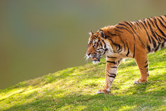 Sumatran Tiger on Hill Closeup Royalty Free Stock Image