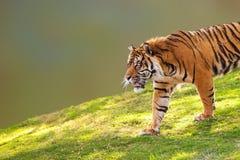 Sumatran Tiger on Hill Closeup Royalty Free Stock Image