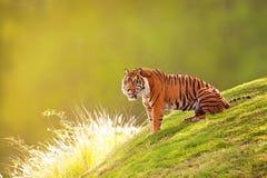 Sumatran Tiger On Hillside In Morning Light Royalty Free Stock Photography
