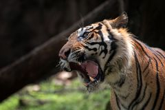 Sumatran tiger. A tiger with his mouth wide open stock image