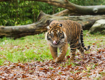 Sumatran Tiger Licking Lips Stock Photos