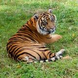 Sumatran Tiger-liegenc$schauen über Schulter lizenzfreie stockbilder