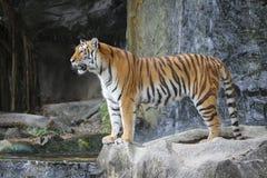Sumatran tiger looking Stock Photos