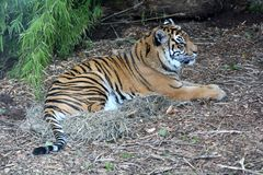 Sumatran tiger lying down on the ground full body royalty free stock images
