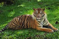 Sumatran Tiger lying down. And looking at camera in a zoo Royalty Free Stock Image