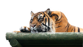 Sumatran Tiger Lying on Wooden Platform Isolated Royalty Free Stock Images