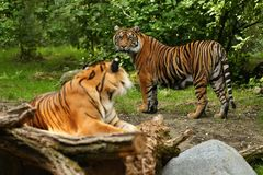 Sumatran tiger in nature looking habitat in zoo stock photo