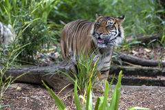 A Sumatran tiger paces in its enclosure at the Adelaide Zoo in South Australia in Australia. A Sumatran tiger paces in its enclosure at the Adelaide Zoo in Stock Image