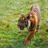 Sumatran Tiger Pacing Through Grass Royalty Free Stock Photo