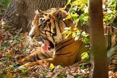 Sumatran Tiger - Panthera tigris sondaica. Critically endangered and originally from the Sunda Islands of Indonesia, this Sumatran Tiger is resting in the shade royalty free stock image