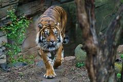 Free Sumatran Tiger Panthera Tigris Sumatrae Stock Photos - 219140433
