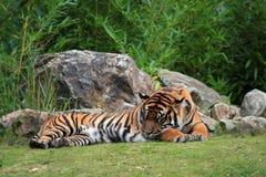The Sumatran tiger. (Panthera tigris sumatrae Stock Image