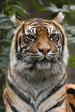 Sumatran tiger Stock Photo