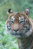 Sumatran Tiger - Panthera tigris sumatrae Royalty Free Stock Photo