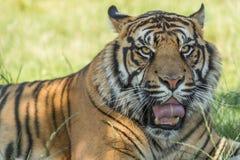 Sumatran tiger (Panthera tigris sumatrae). Closeup  of Sumatran tiger (Panthera tigris sumatrae) lying in the grass Royalty Free Stock Images