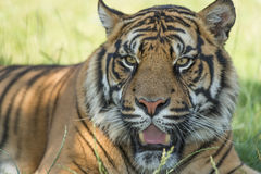 Sumatran tiger (Panthera tigris sumatrae) Stock Photos